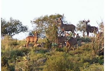 kudu steytlerville