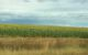 Free State South Africa sunflower fields